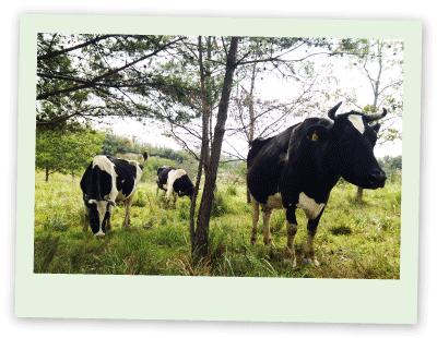 夏の牛たち