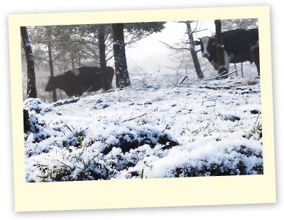 冬の牛たち